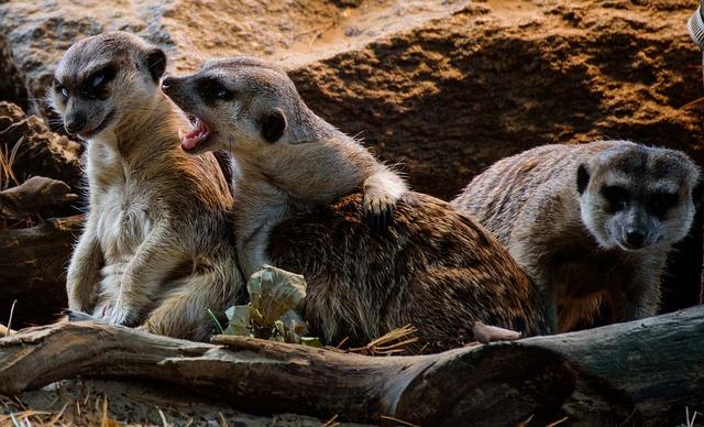 vzteklá surikata