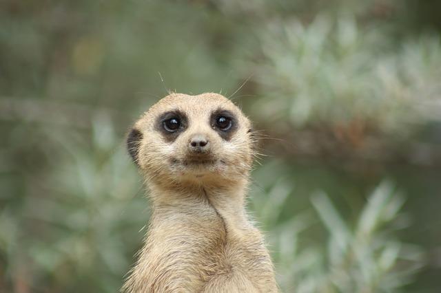 hlava surikaty