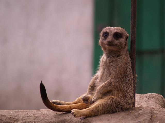 sedící surikata